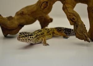Leppy Leopard Gecko Professional
